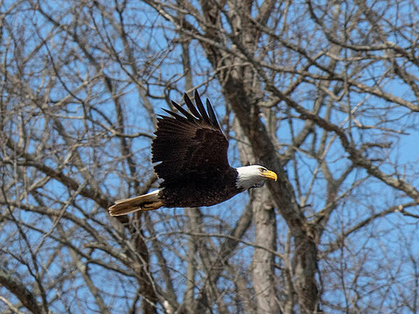 Bald Eagle - CVNP - Tim Fenner - 640x480
